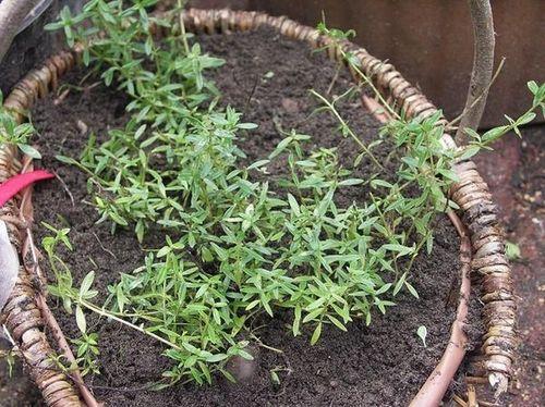 verbreitet feldthymian albus