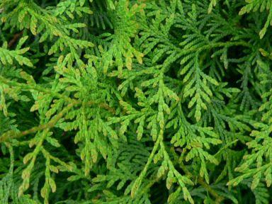 Thuja Giftig thuja lebensbaum thuja occidentalis