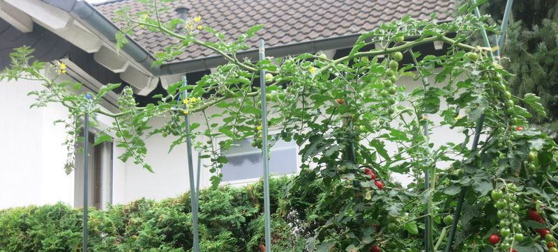 tomaten solanum lycopersicum alle. Black Bedroom Furniture Sets. Home Design Ideas