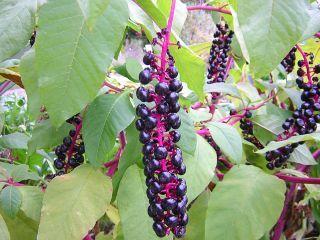 baum mit schwarzen früchten