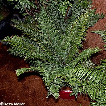 Polystichum proliferum, Bulben-Filigranfarn