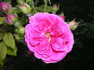 rose legen mit filz