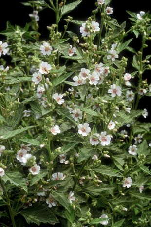 Althaea officinalis, Eibisch