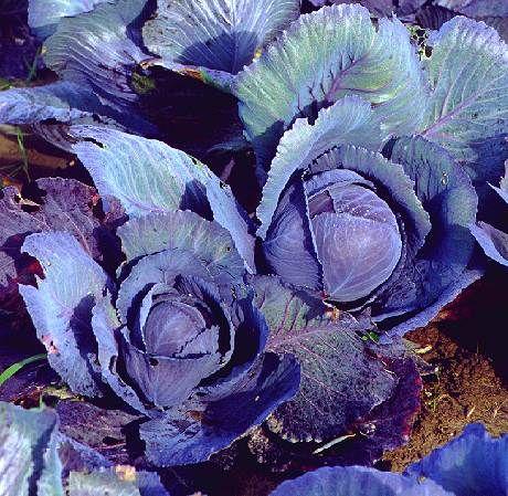 Brassica oleracea convar.capitata var.capitata f.rubra, Rotkohl