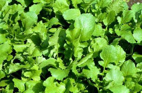 Brassica rapa var. esculenta Teltower Rübchen