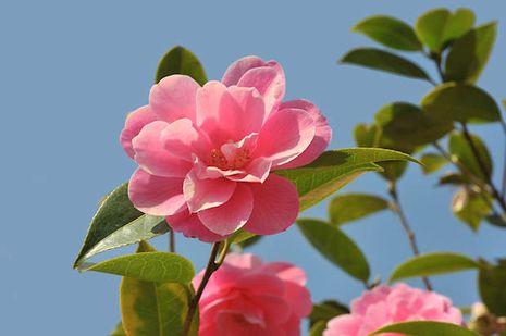 schwarze ameisen an den rosen
