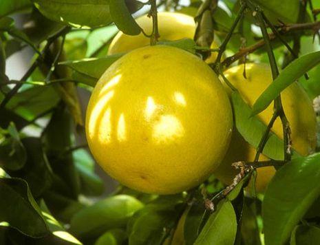 unterschied limone limette