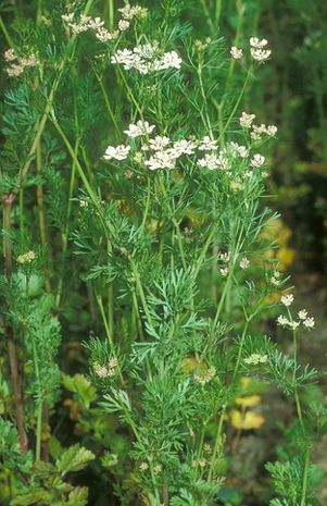 Echter koriander coriandrum sativum for Koriander pflanzen