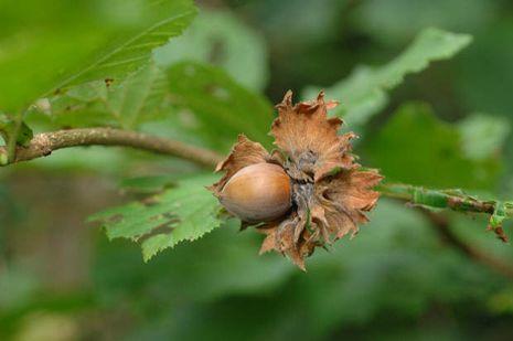junger kirschbaum ameisenbefall