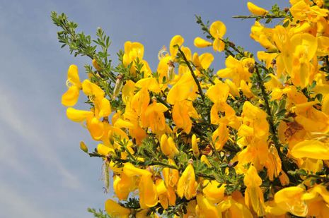 Cytisus scoparius. Besenginster. Edelginster. Schottischer Ginster