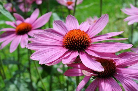 purpursonnenhut echinacea purpurea alle. Black Bedroom Furniture Sets. Home Design Ideas