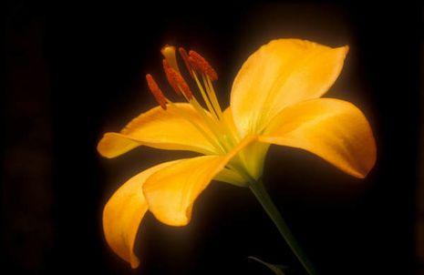 Ganz und zu Extrem Lilien [Lilium] | Der Bio-Gärtner #TL_57