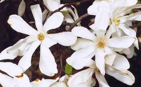 magnolia grandiflora sorten magnolia grandiflora immergr ne magnolie in sorten 70cm ebay. Black Bedroom Furniture Sets. Home Design Ideas