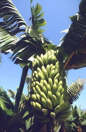 bananenpflanze winterhart kaufen