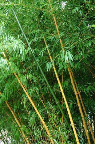 Bambus Pseudosasa Japonica Der Bio Gärtner