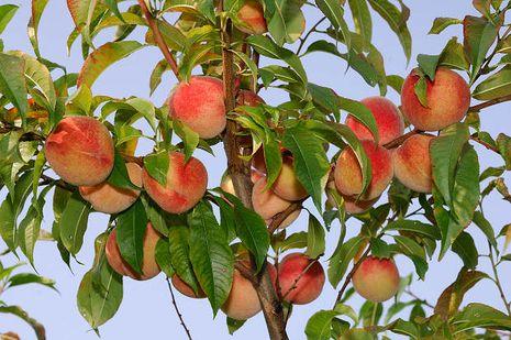 Ganz und zu Extrem Pfirsichbaum [Prunus] | Der Bio-Gärtner @UW_55