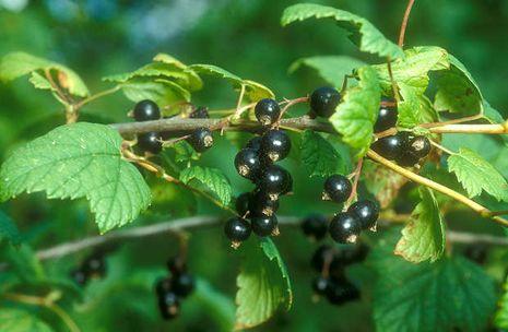 Geliebte Johannisbeeren [Ribes]   Der Bio-Gärtner #DZ_07