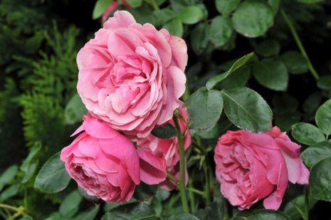 rosen rosa anbau. Black Bedroom Furniture Sets. Home Design Ideas