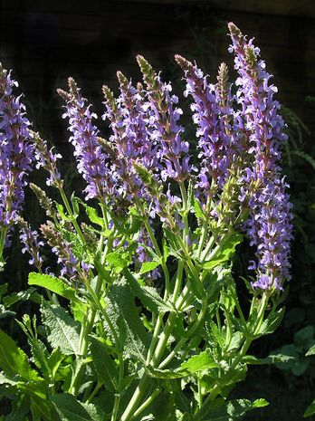 Salvia officinalis, Salbei