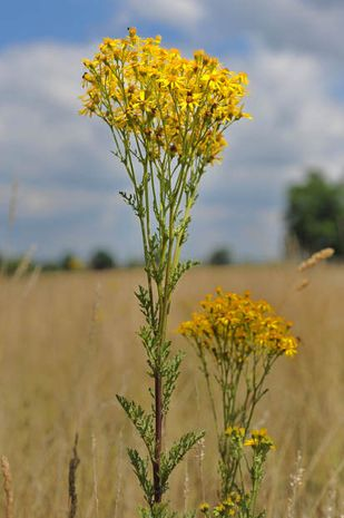 Senecio jacobaea, gelbe Wildstaude