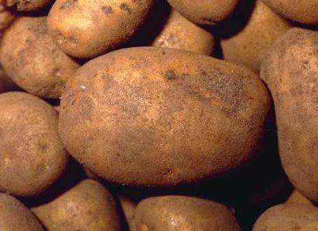 Geliebte Kartoffeln [Solanum tuberosum] - Alle @YT_99