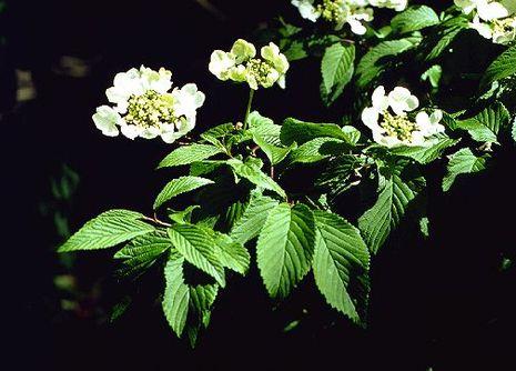 Schneeball Viburnum Sorten